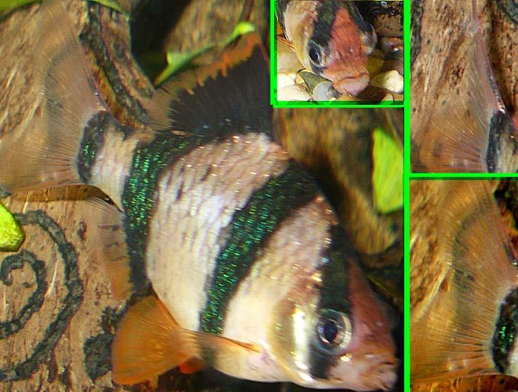 1 описание проблемы: у самки гуппи оттопырились жаберные крышки ( прилегают не так плотно, как у других рыб)